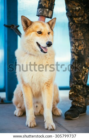 West Siberian Laika is a breed of hunting dog. - stock photo