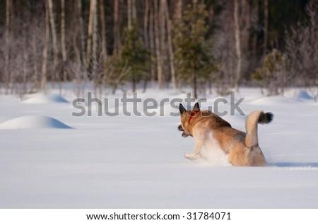 West Siberian Laika running on backcountry snow - stock photo