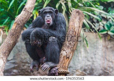 Western chimpanzee (Pan troglodytes verus) spending his time in a tree - stock photo
