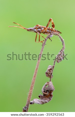 western conifer seed bug - Leptoglossus occidentalis - stock photo