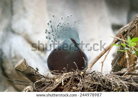 Western Crowned Pigeon (Goura cristata)  - stock photo