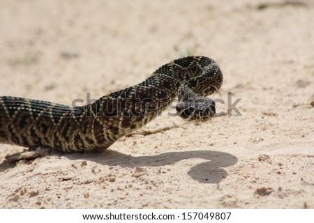 western diamond-back rattlesnake - stock photo