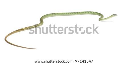 Western green mamba  - Dendroaspis viridis, poisonous, white background - stock photo
