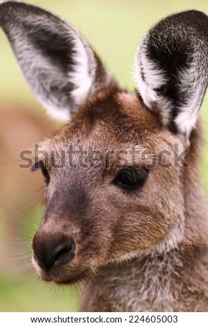 Western Grey Kangaroo Closeup  - stock photo