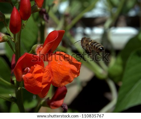 Western Honey Bee in flight towards an orange garden Sweet Pea flower.  These are the same species as the European Honey Bee, Apis mellifera.  Some call them Worker Bees. - stock photo