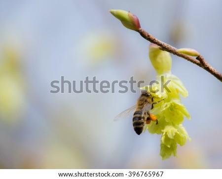 Western honey bee with Varroa mite - stock photo