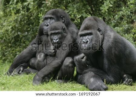 Western lowland gorilla, Gorilla gorilla, group mammals on grass  - stock photo