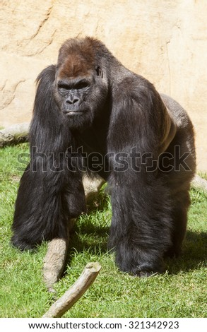 Western lowland gorilla or Gorilla gorilla gorilla staring to the camera - stock photo
