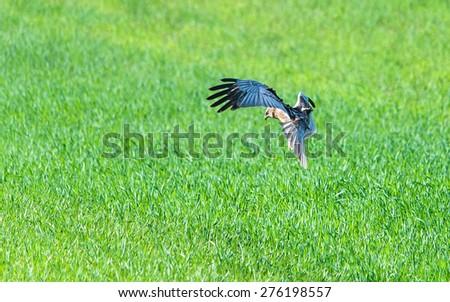 Western marsh harrier in flight, searching for pray - stock photo