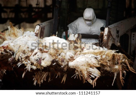 WESTERN NEGEV, ISRAEL - MARCH 18: Agriculture Ministry worker carry carcasses of dead turkeys due to Bird Flu outbreak in a forklift at Kibbutz Holit in the western Negev, Israel on March 19, 2006. - stock photo