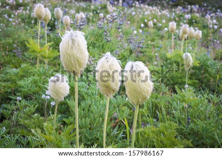 Western Pasque flower blooming in high mountain meadow - stock photo