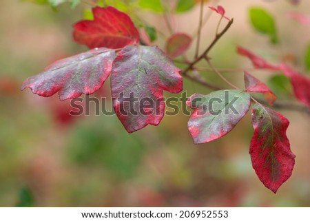 Western poison oak turning red - stock photo