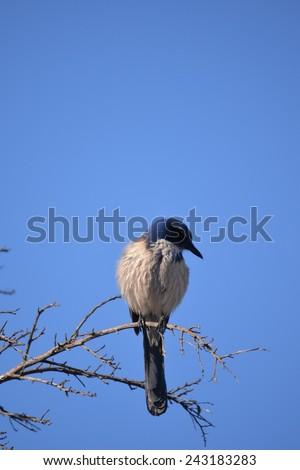 Western Scrub-Jay - stock photo