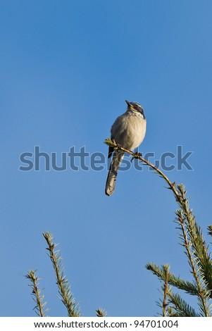 Western Scrub Jay (Aphelocoma californica). The Western Scrub Jay is a species of scrub-jay native to western North America. - stock photo