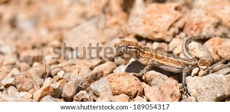 Western Side Blotch Lizard suns itself in Red Rock Canyon, Nevada. - stock photo