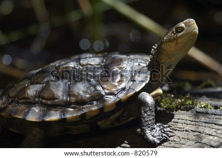 western swamp turtle - stock photo