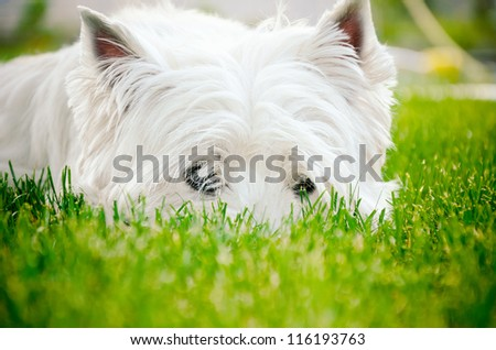 Westie lying on green grass - stock photo