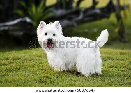 Westie on the green grass - stock photo