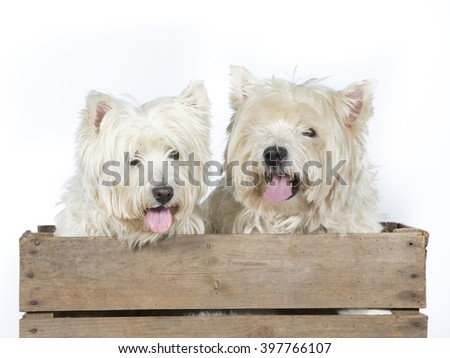 Westie portrait. Two dogs are sitting in an antique wooden box. The dog breeds are West Highland White Terrier. Image taken in a studio. - stock photo