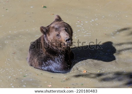 wet brown bear - stock photo