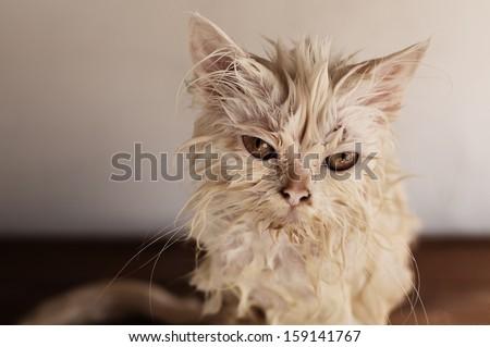 Wet cat - stock photo