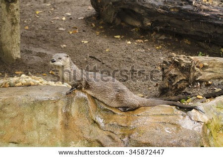 Wet common otter aka Lutra lutra on the tree trunk, animal background - stock photo