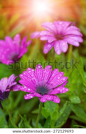wet daisy flower purple in color against a blurred background of green and yellow light with water droplets on the petals - stock photo