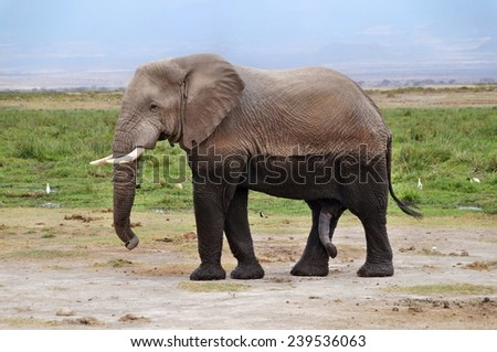 Wet elephant left swamp in Amboseli National Park, Kenya - stock photo