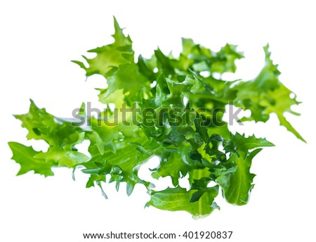 wet fresh green leaves of endive frisee chicory salad isolated on a white background in macro lense shot - stock photo