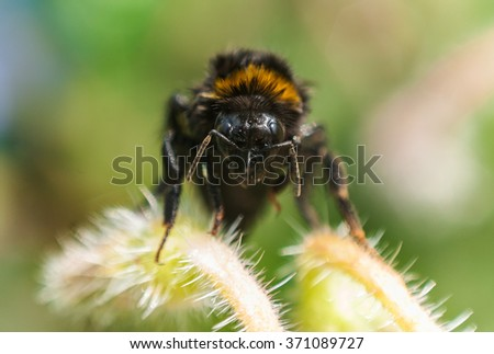 Wet humble bee drying on a plant, front portrait, close up. - stock photo