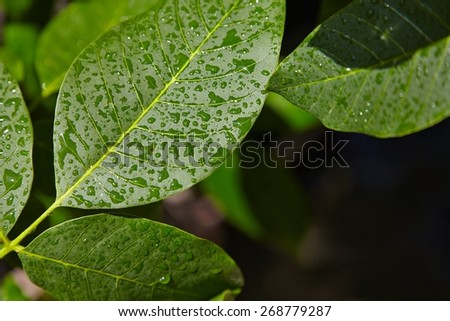 Wet leaves of a tree after rain - stock photo