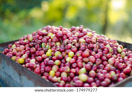 wet process of Abarica coffee beans-Thailand - stock photo