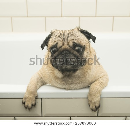 Wet pug in the bathroom - stock photo
