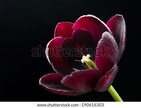 Wet purple-black tulip. - stock photo