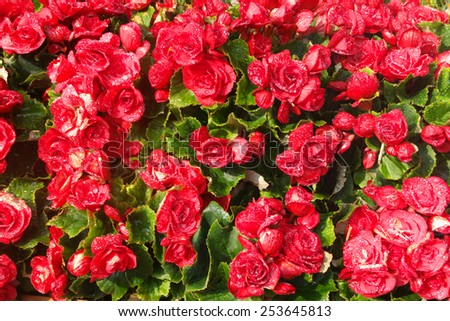 Wet red flowers background - stock photo