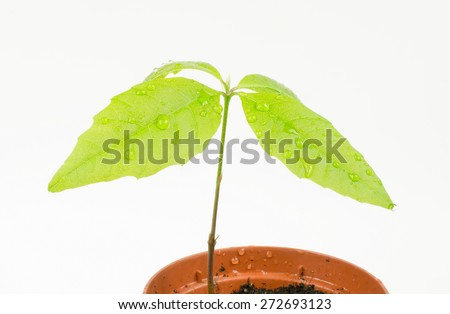 wet red oak seedling - stock photo