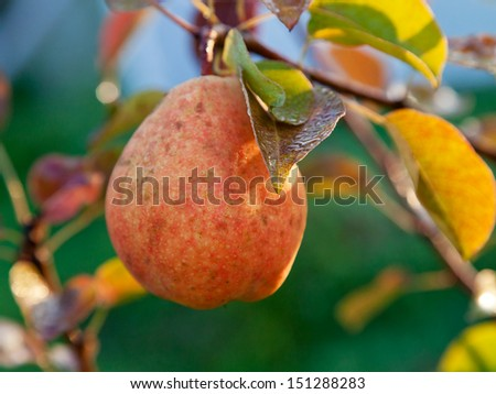wet ripe yellow and red pear on tree in early dew - stock photo