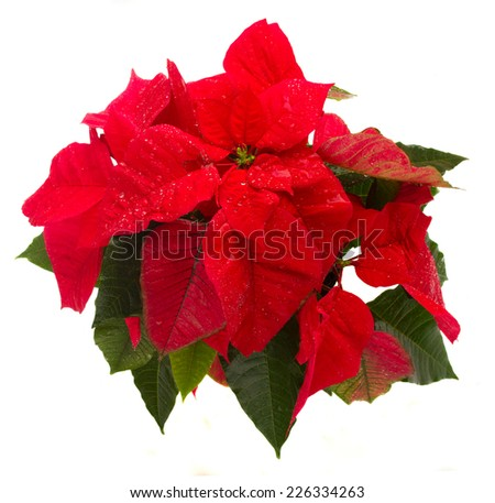 wet scarlet poinsettia flower or christmas star isolated on a white background  - stock photo