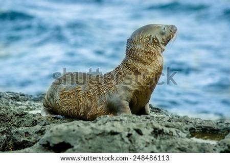 wet sea lion in san cristobal galapagos islands ecuador - stock photo