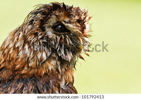 wet Tawny Owl in raining - stock photo