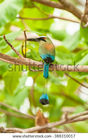Wet turquoise browed mot mot sits in a almond tree in the rain holding an insect in its beak - stock photo