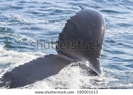 Whale fin at Cape Cod.  - stock photo
