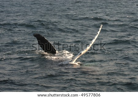 Whale rolling in the water - stock photo