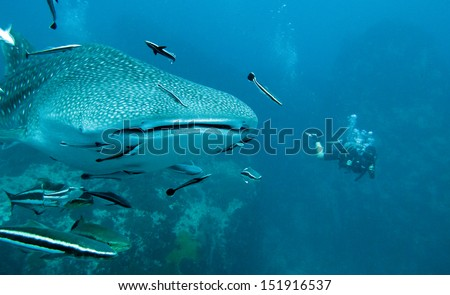 whale shark and diver - stock photo