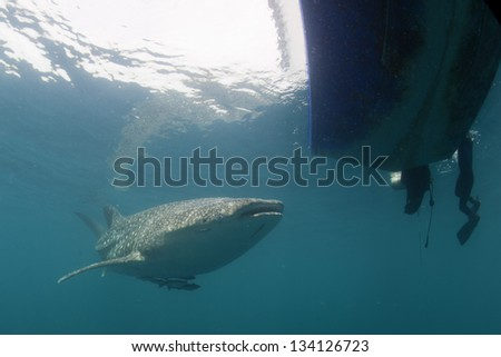 Whale Shark approaching a diver underwater in Papua - stock photo