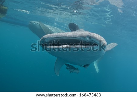 Whale Shark close up underwater with big enormous open mouth jaws - stock photo