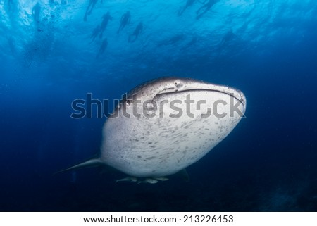 Whale shark in the blue water of Maldives - stock photo