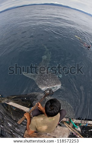whale shark in the blue waters of cenderawasih bay, indonesia - stock photo