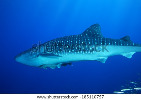Whale Shark passing through the warm waters of Thailand - stock photo