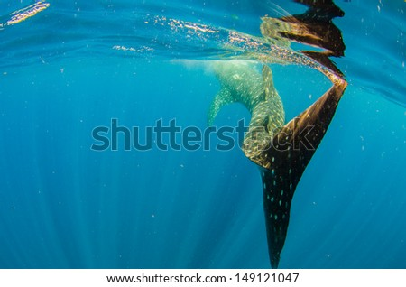 Whale Shark (rhincodon typus) - stock photo